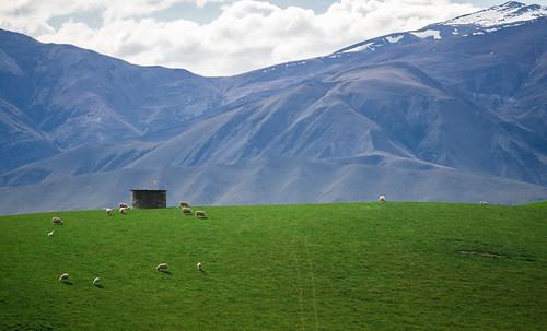 newzealand mountains sheep hill canterbury fairlie
