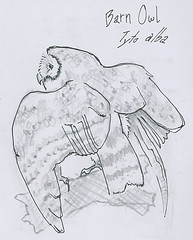 New York NHM : Barn Owl