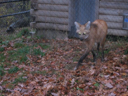 Maned wolf (3rd of 8 photos) by Coyoty