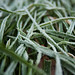 Frozen Grass