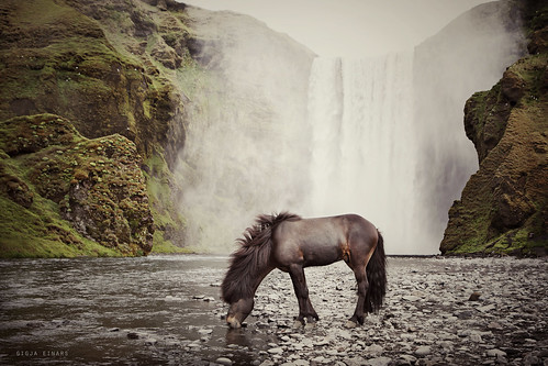 Icelandic stallion at Skógarfoss