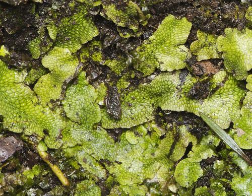 virginia flickr unitedstates va nps11913wahrani barhamsville conocephalaceaefamily liverwortshepaticophyta marchantiaesc