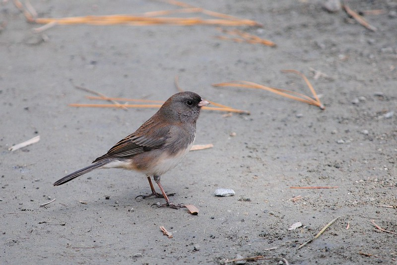 Dark-eyed Junco (Серый юнко)