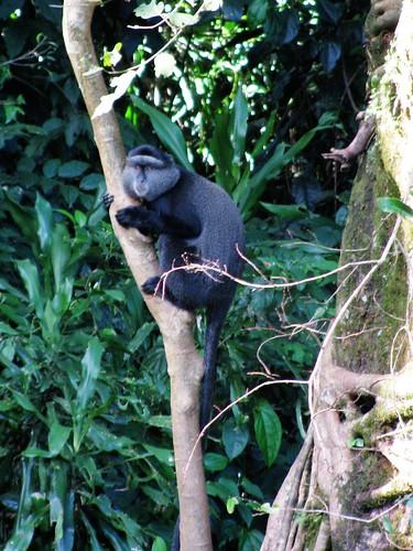 voyage africa travel blue forest monkey vacances holidays kenya urlaub afrika kenia 2012 afrique kakamega bluemonkey mitis 2013 cercopithecus cercopithecusmitis diademed diademedmonkey img86491