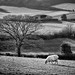 Lone sheep by Alan Frost ARPS