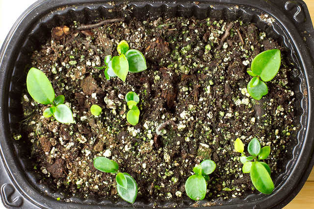 Hoya Mathilde seedlings 130203