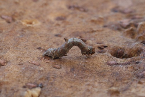 Brimstone Moth (Opisthograptis luteolata) larva