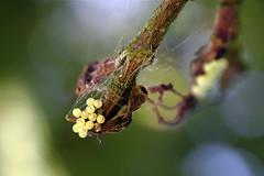 Unbekannte Insekteneier (4)