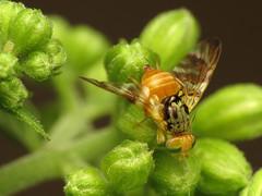 Snake Root Fruit Fly