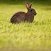 Sunbathing bunny