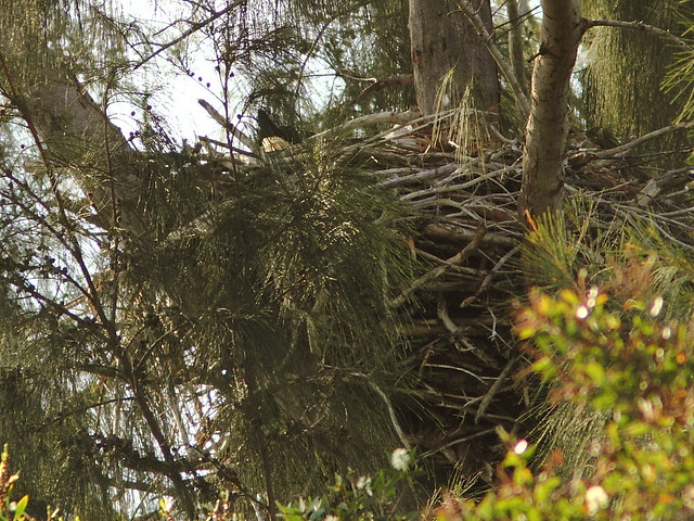 Bald Eagle incubating 20121207