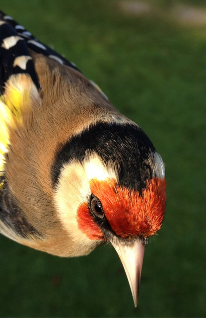 Goldfinch from above
