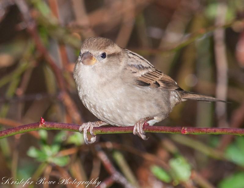 Sparrow in the rain