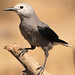 Clarks_Nutcracker_wray by Oregon Department of Fish & Wildlife