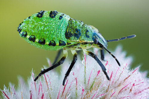 Green Shieldbug Nymph