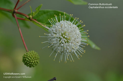 Buttonbush - Cephalanthus occidentalis by USWildflowers, on Flickr