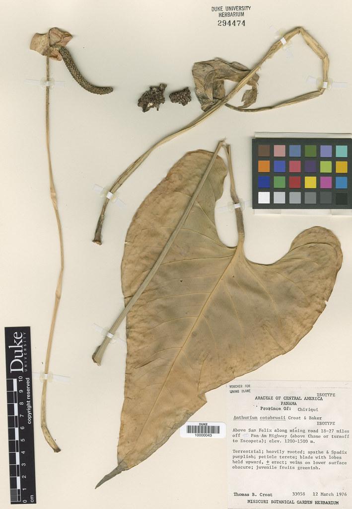 Araceae_Anthurium cotobrusii