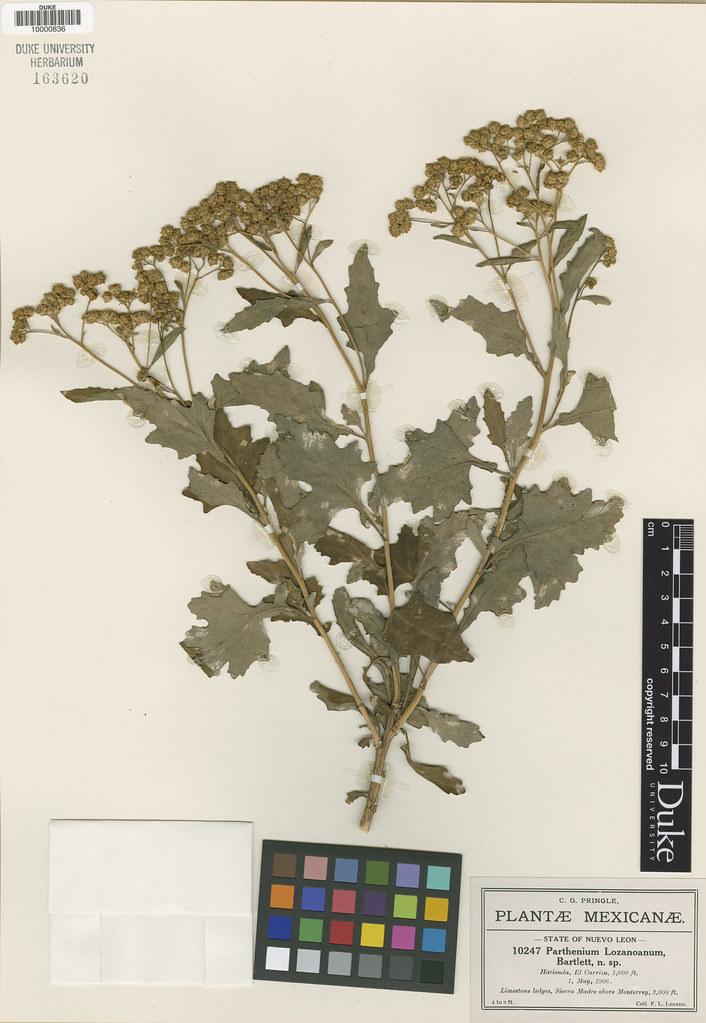 Asteraceae_Parthenium lozanianum