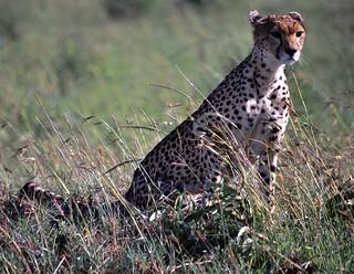 Female Cheetah (Acynonyx jubatus)