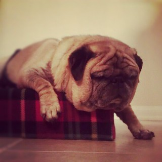 Seymour had quite the day. #rescued #pug now learning about the #puglife as a foster.