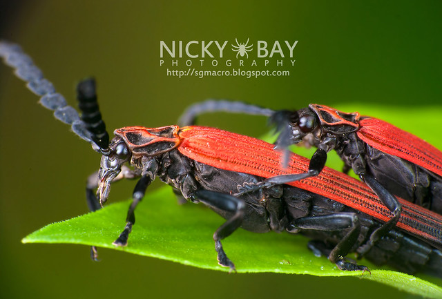 Net-Winged Beetles (Lycidae) - DSC_2463