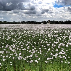 Champs de coquelicots blancs ! Field of White poppies !  #poitoucharentes #gang_family #gf_france #gf_daily #igersfrance #coquelicotparty #inkstagram #flower #field #instagramhub - Photo of Vallans