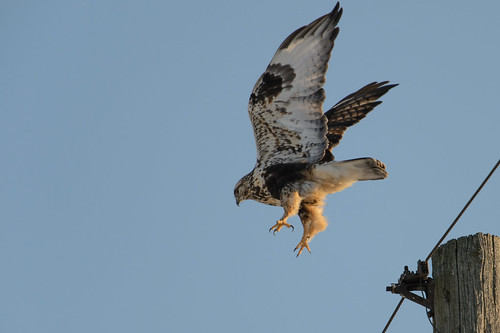 Rough-legged Hawk_40640.jpg