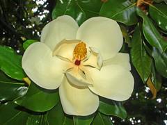 camellia sasanqua, flower, yellow, plant, flora, gardenia, theaceae,