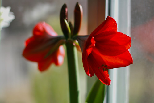 amaryllis -- just in time!