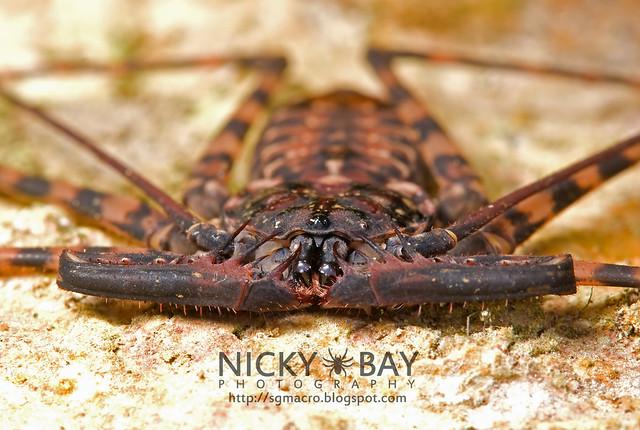 Tailless Whip Scorpion (Amblypygi) - DSC_9228