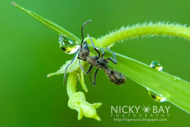 Ant (Formicidae) - DSC_5197