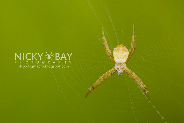 St Andrew's Cross Spider (Argiope sp.) - DSC_8144