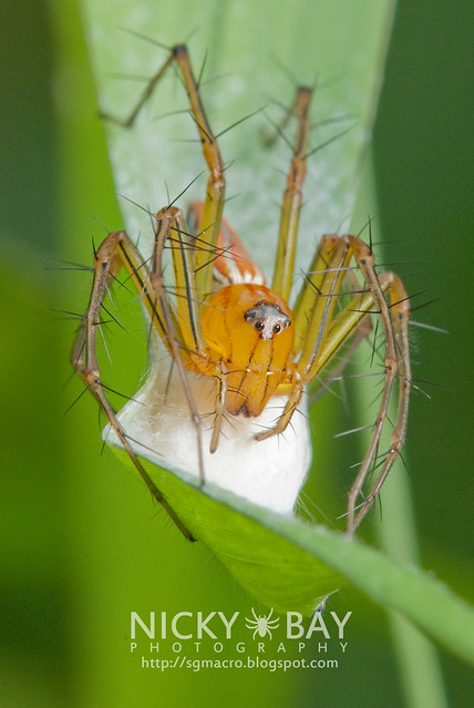 Lynx Spider (Oxyopidae) - DSC_6938