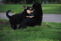 american black bear(0.0), animal(1.0), puppy(1.0), dog(1.0), pet(1.0), mammal(1.0), schipperke(1.0),
