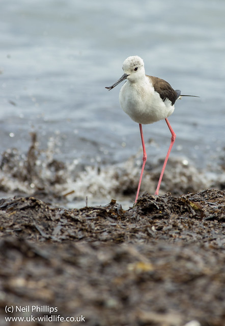 black winged stilt 7