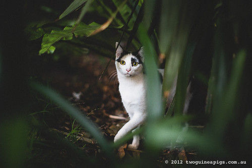 Neot the cat by twoguineapigs pet photography