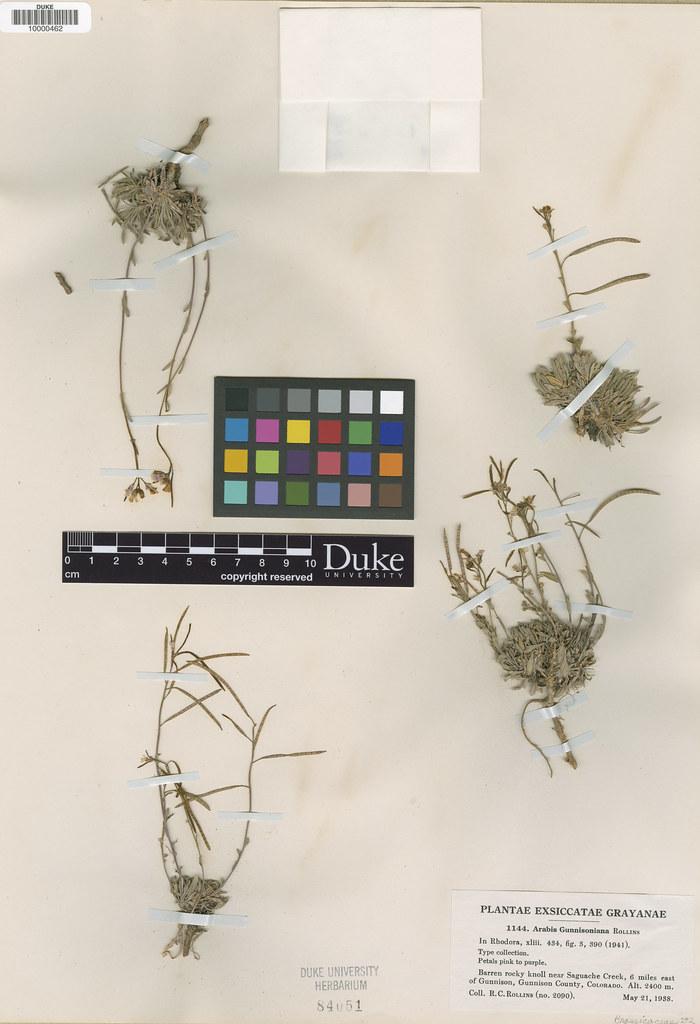 Brassicaceae_Arabis gunnisoniana