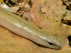 Slow Worm (Anguis fragilis) - Photo of Cuébris