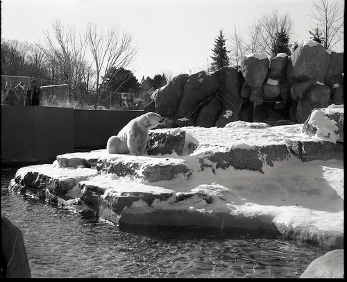 Polar Bear enjoying a brisk January 1 at Toronto Zoo