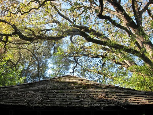 Hakone Japanese Gardens, Saratoga, CA, tree IMG_2356
