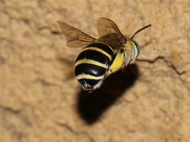 Blue-banded Bee 6440