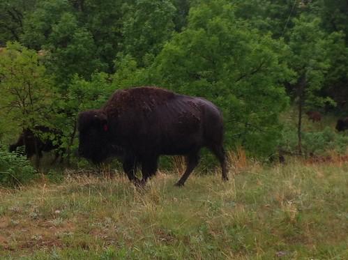 buffalo south scenic dakota custer uploaded:by=flickrmobile flickriosapp:filter=nofilter