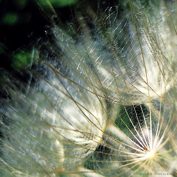 Beautiful golden rays of light play along the fine delicate filaments of an autumn seed head