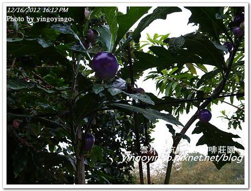 雲林古坑_樺鄉咖啡莊園20121216_R0011096