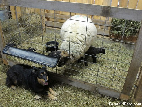 Lambing season begins! (4) - FarmgirlFare.com