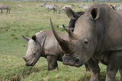 White Rhino and Offspring