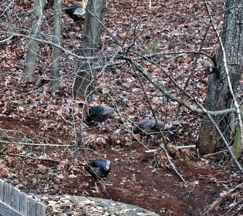 turkey_hens