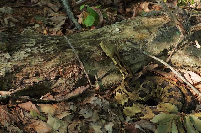 Timber Rattlesnake - Crotalus, Pentax K-30, smc PENTAX-D FA 100mm F2.8 Macro
