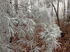 Frosty Pine