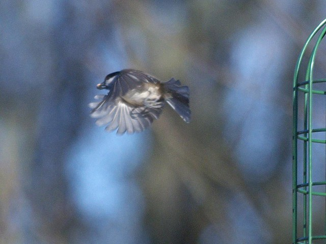DSC_5297 Marsh Tit in flight